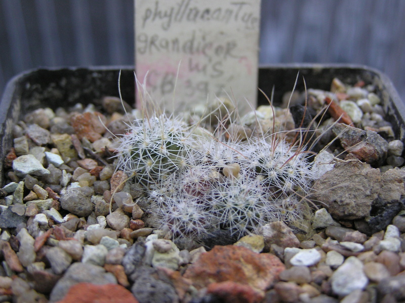 Cactus under carbonate. Seedlings. 2 Efc_ph12