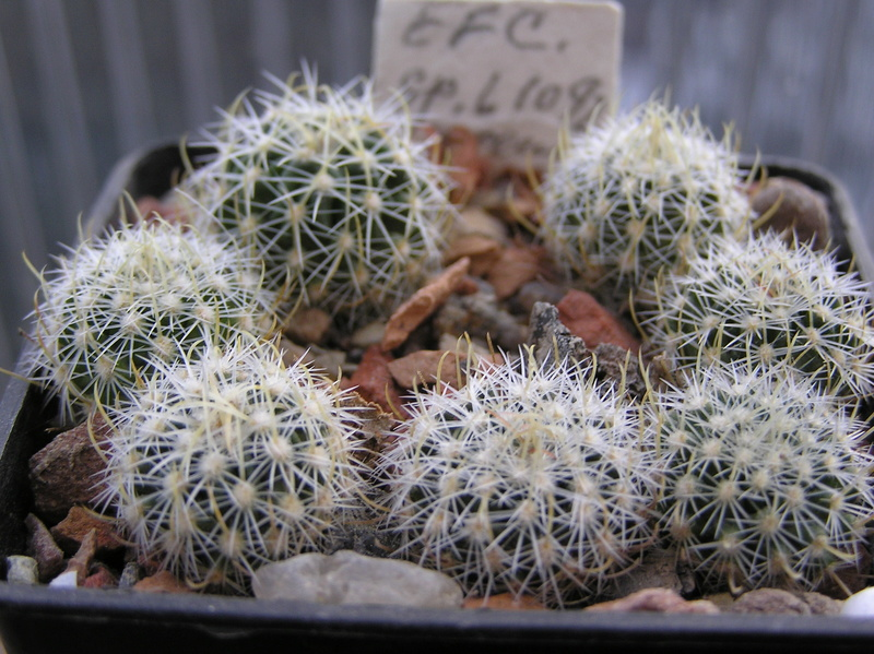 Cactus under carbonate. Seedlings. 2 Efc_sp12