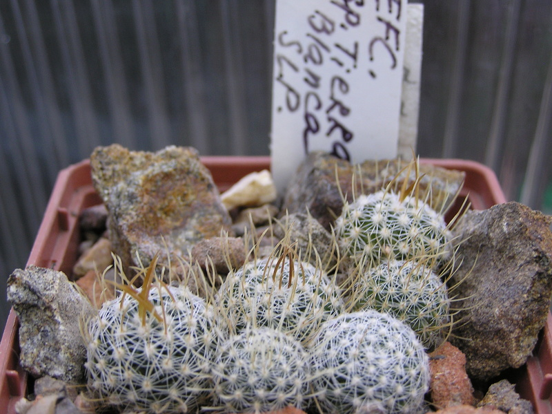 Cactus under carbonate. Seedlings. 2 Efc_sp13