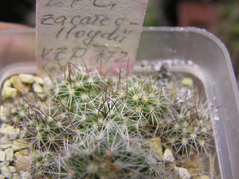 Cactus under carbonate. Seedlings. 2 Efc_za10