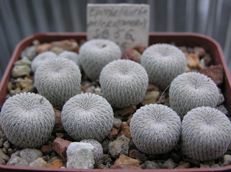 Cactus under carbonate. Seedlings. 2 Epi_mi10