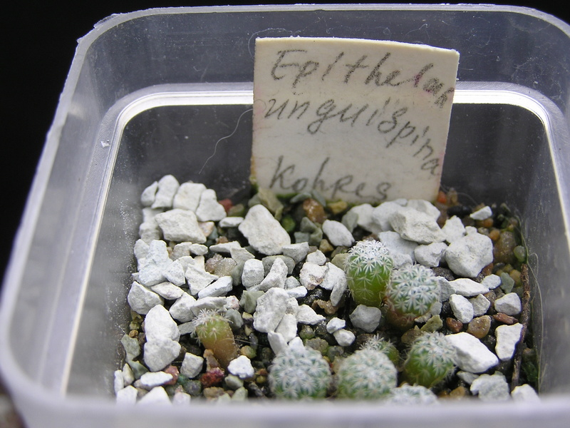 Cactus under carbonate. Seedlings. 2 Epi_un10