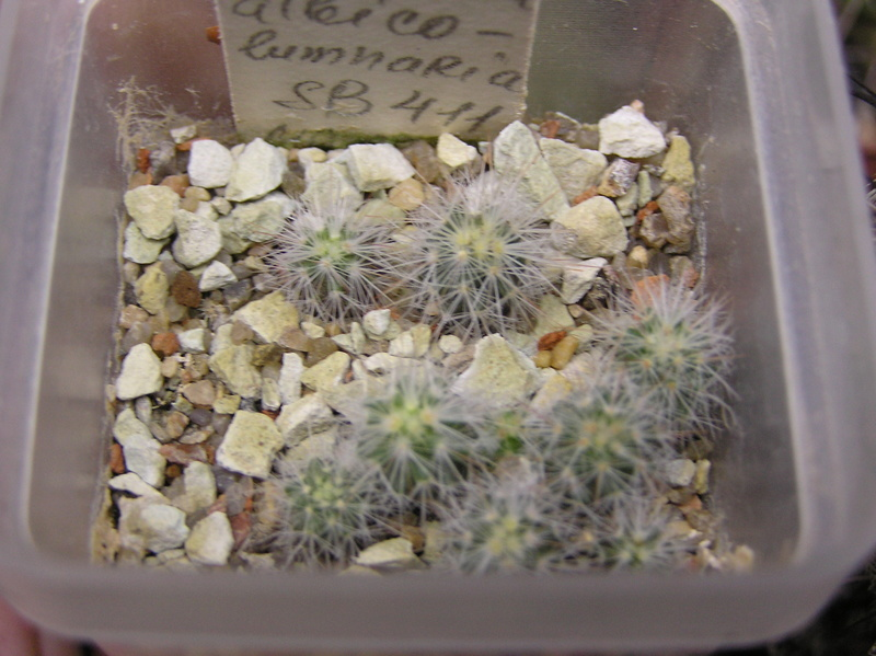 Cactus under carbonate. Seedlings. Esc_al10