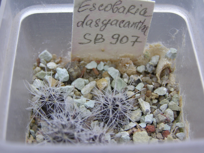 Cactus under carbonate. Seedlings. Esc_da10