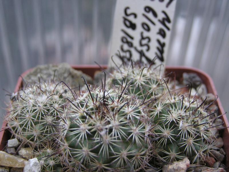 Cactus under carbonate. Seedlings. Fm_blo10