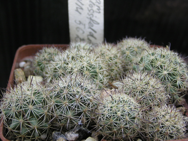 Cactus under carbonate. Seedlings. Fm_blo11