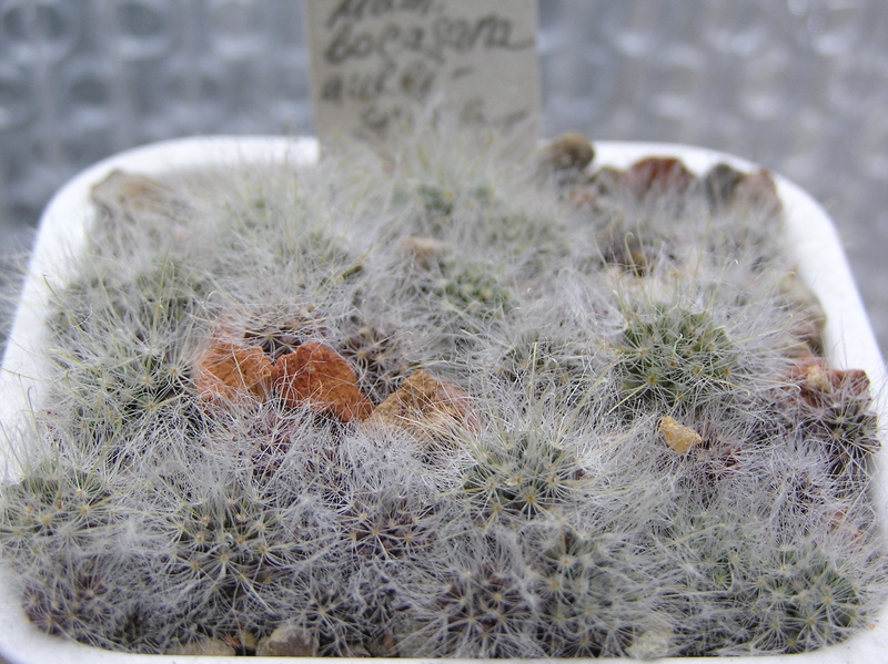 Cactus under carbonate. Seedlings. Fm_boc10