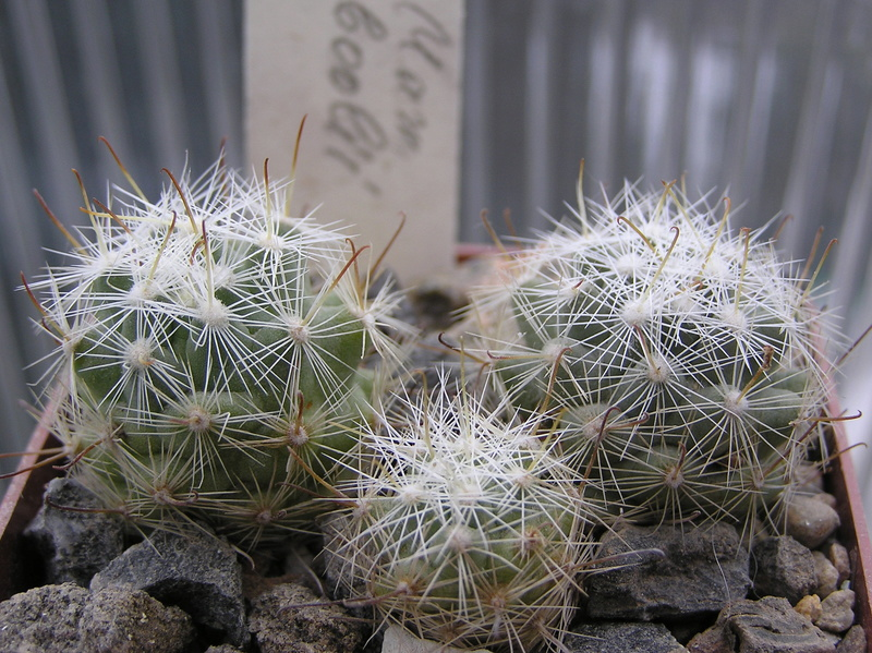 Cactus under carbonate. Seedlings. Fm_boo10