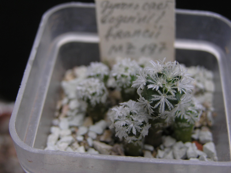 Cactus under carbonate. Seedlings. 2 Gy_beg15