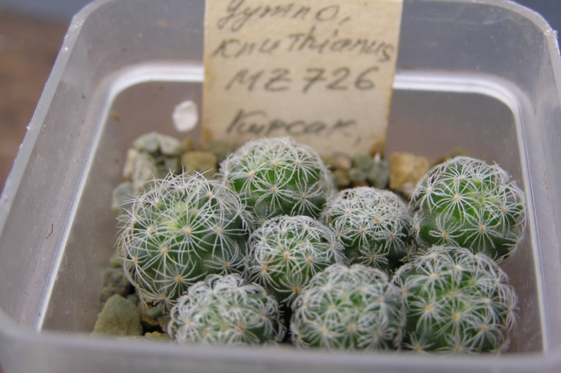 Cactus under carbonate. Seedlings. 2 Gy_knu10