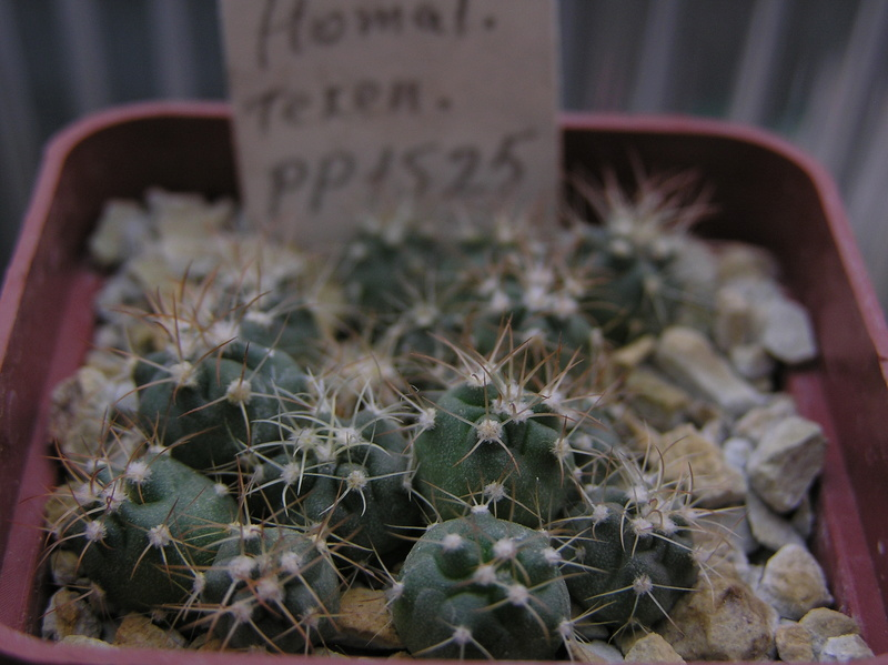 Cactus under carbonate. Seedlings. 2 Hom_te11