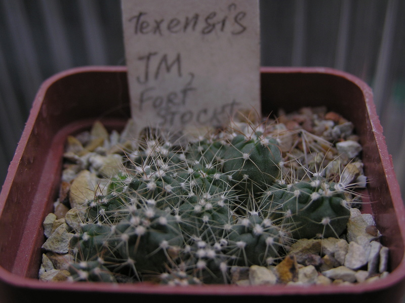Cactus under carbonate. Seedlings. 2 Hom_te12