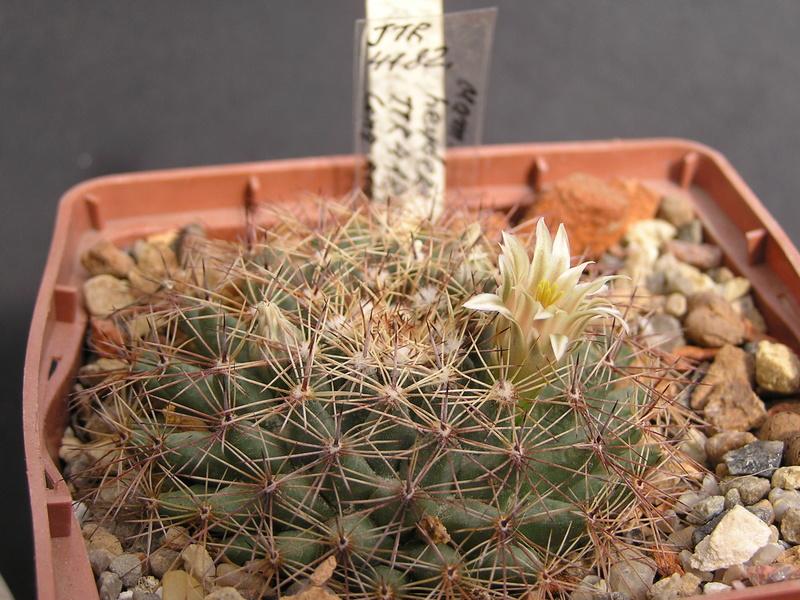 Cactus under carbonate. 17. Started! Jtr_4110