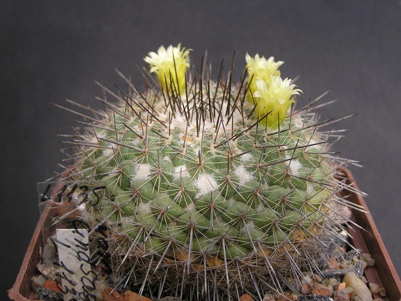 Cactus under carbonate. 17. Started! L_113511
