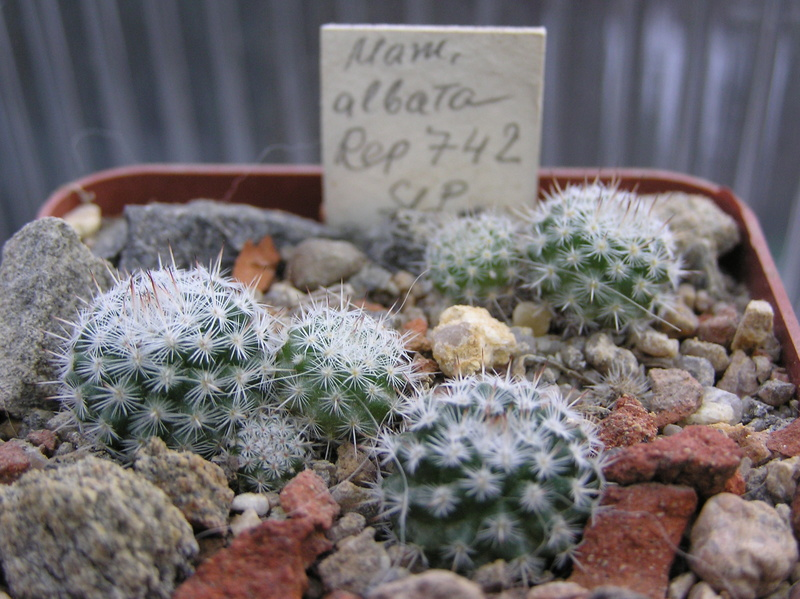 Cactus under carbonate. Seedlings. M_alba10