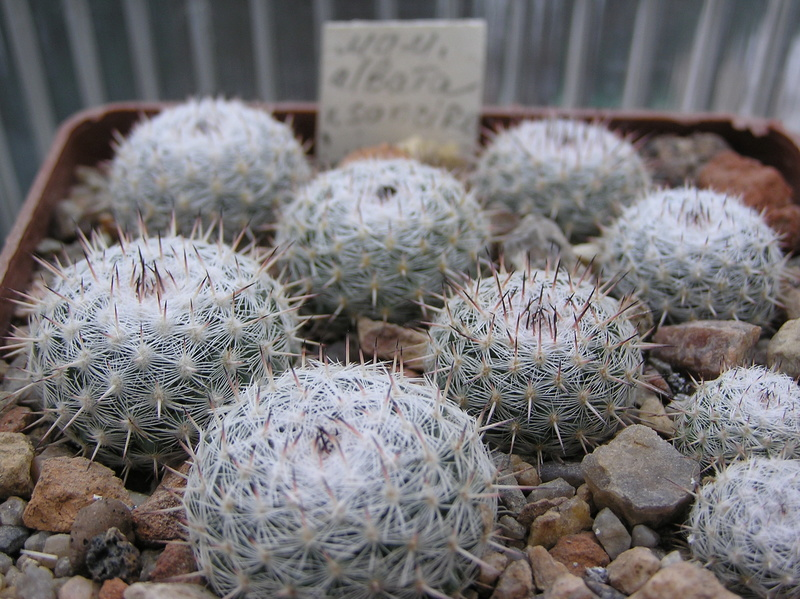 Cactus under carbonate. Seedlings. M_alba11