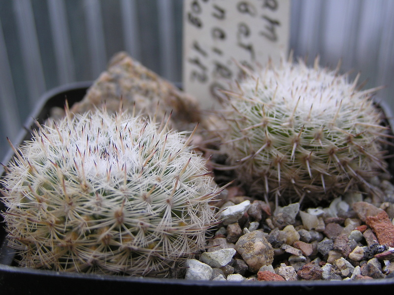 Cactus under carbonate. Seedlings. M_alba12