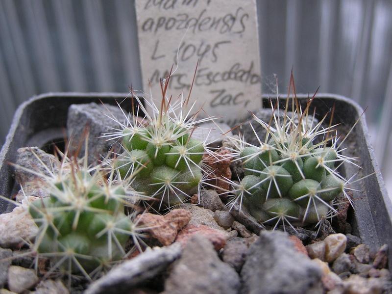Cactus under carbonate. Seedlings. M_apoz10