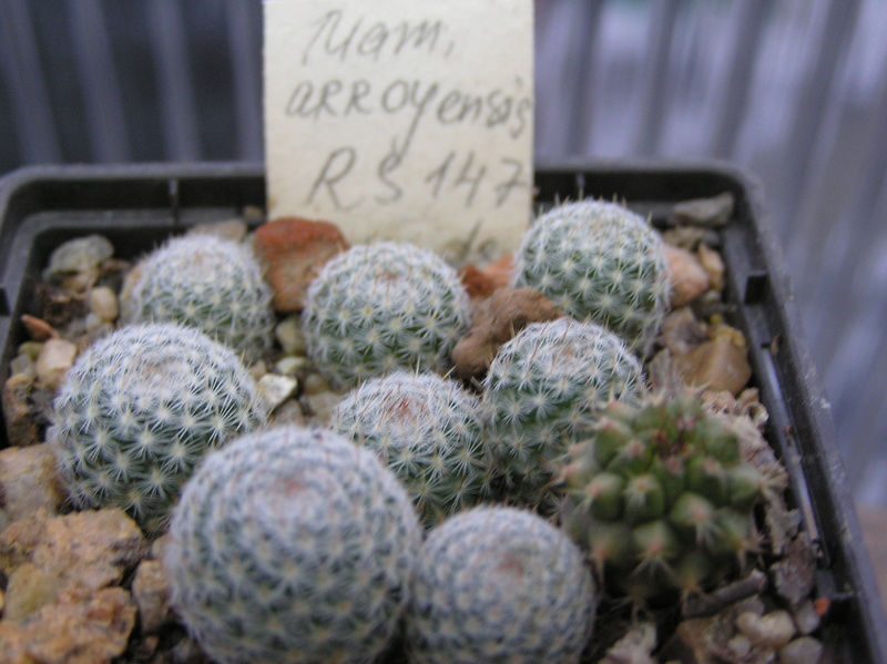 Cactus under carbonate. Seedlings. M_arro10