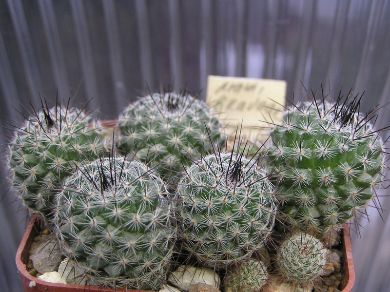 Cactus under carbonate. Seedlings. M_brav10