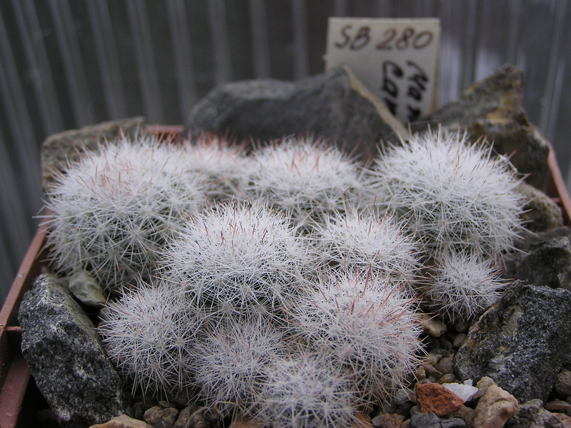 Cactus under carbonate. Seedlings. M_cand10