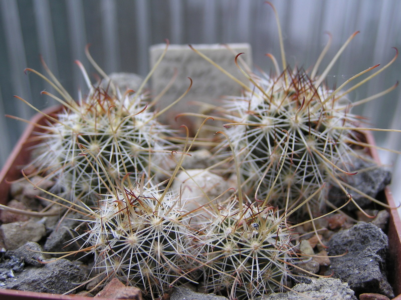 Cactus under carbonate. Seedlings. M_cape10