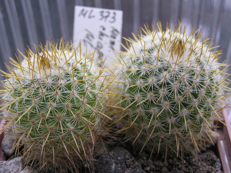 Cactus under carbonate. Seedlings. M_chia10