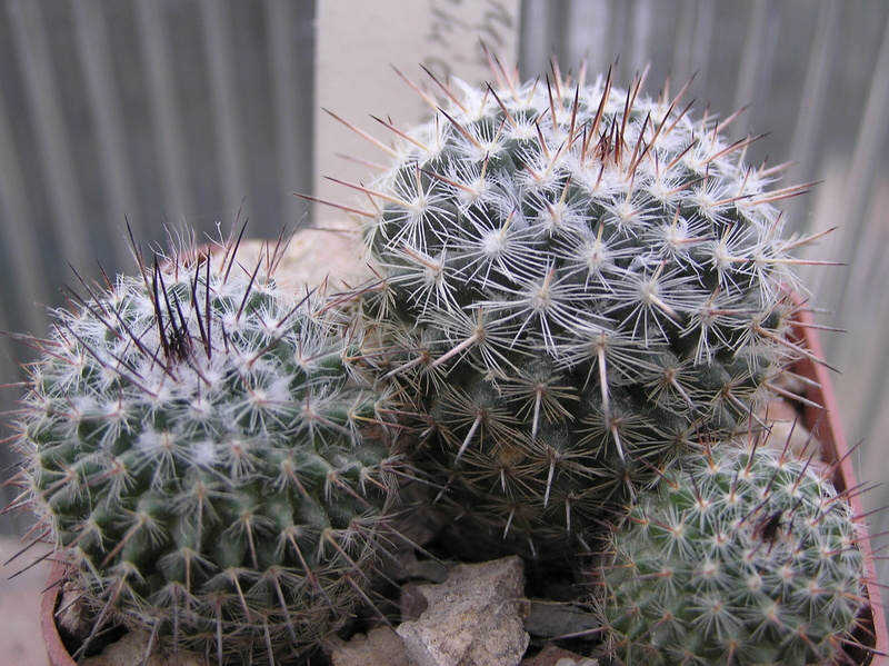 Cactus under carbonate. Seedlings. M_chio10