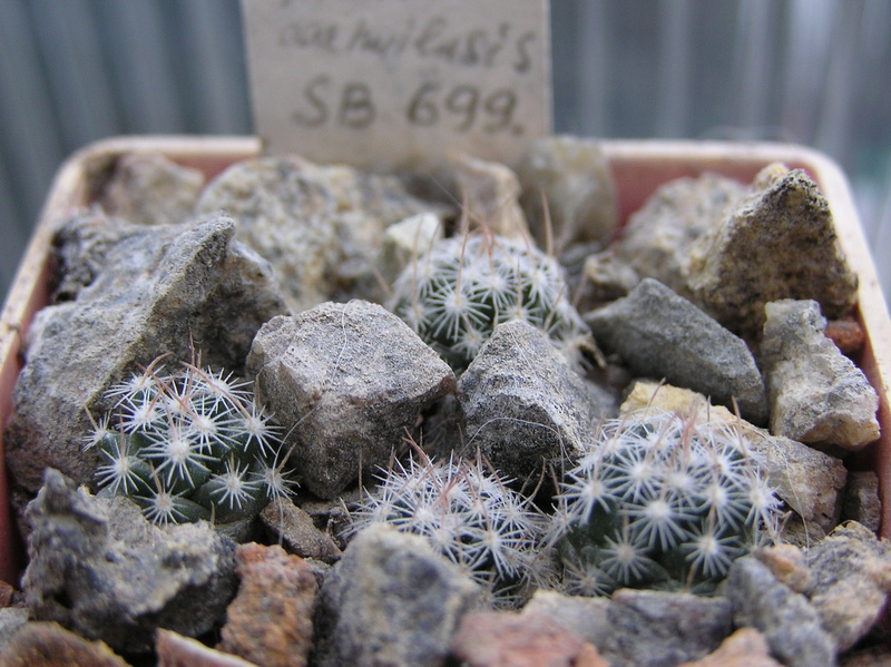 Cactus under carbonate. Seedlings. M_coah11