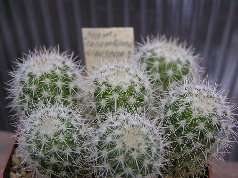 Cactus under carbonate. Seedlings. M_colu10