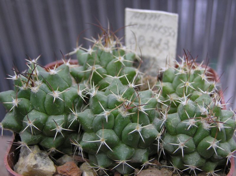 Cactus under carbonate. Seedlings. M_comp10