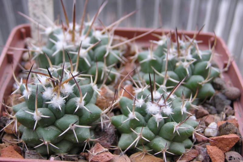 Cactus under carbonate. Seedlings. M_comp11