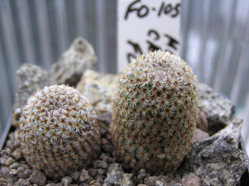Cactus under carbonate. Seedlings. M_cruc11