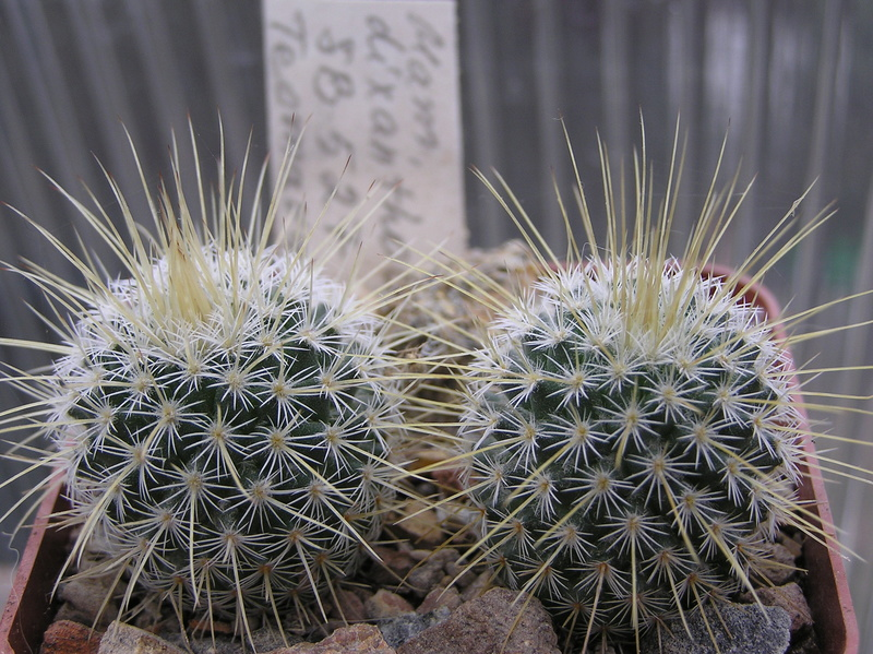 Cactus under carbonate. Seedlings. M_dixa11