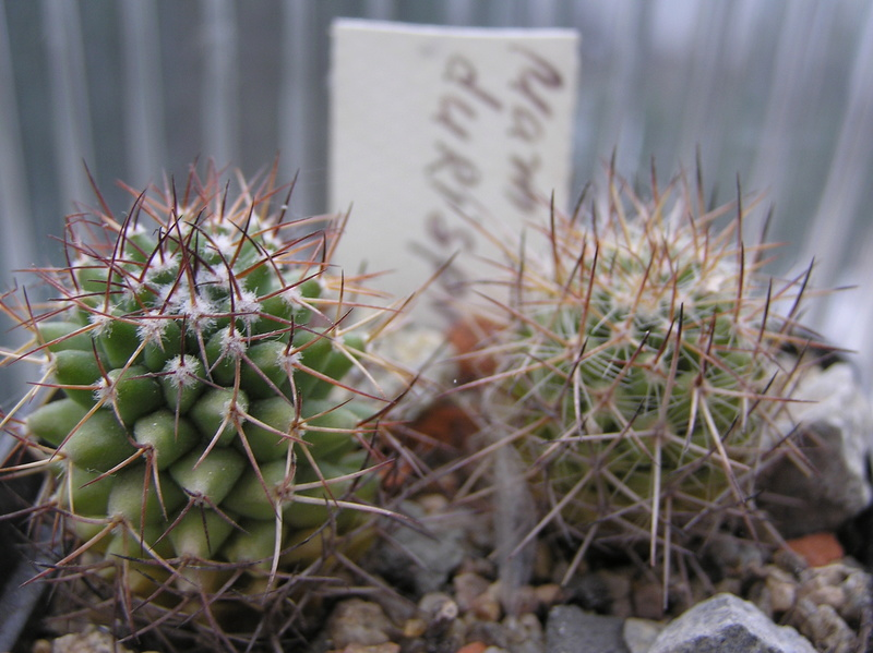 Cactus under carbonate. Seedlings. M_duri10
