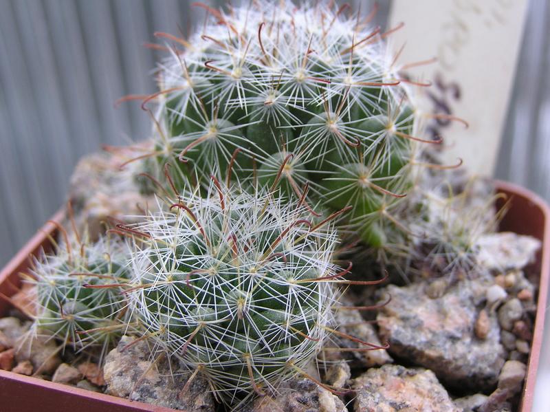 Cactus under carbonate. Seedlings. M_eryt10