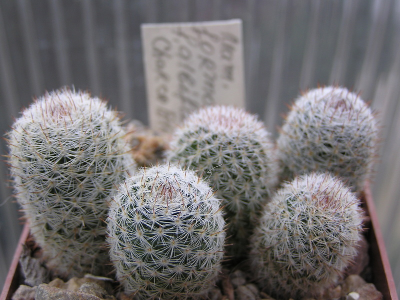 Cactus under carbonate. Seedlings. M_form10