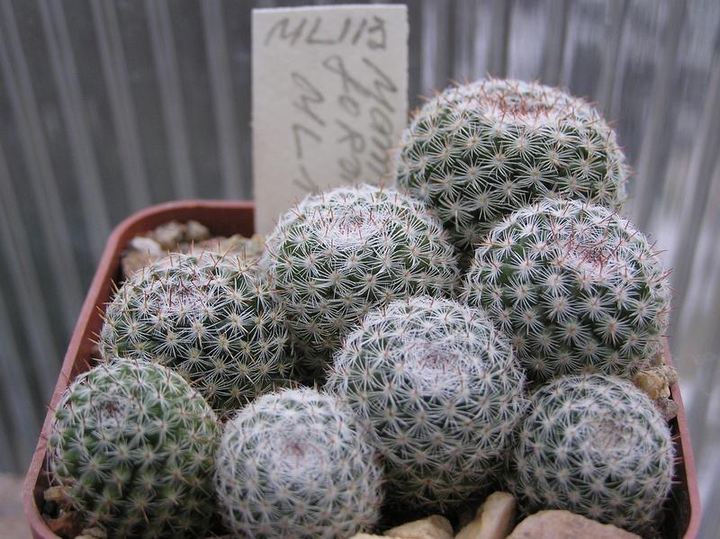 Cactus under carbonate. Seedlings. M_form13