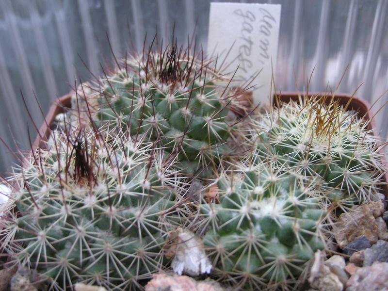 Cactus under carbonate. Seedlings. M_gate10