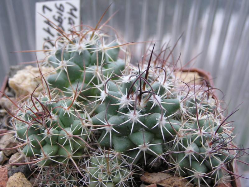Cactus under carbonate. Seedlings. M_giga11