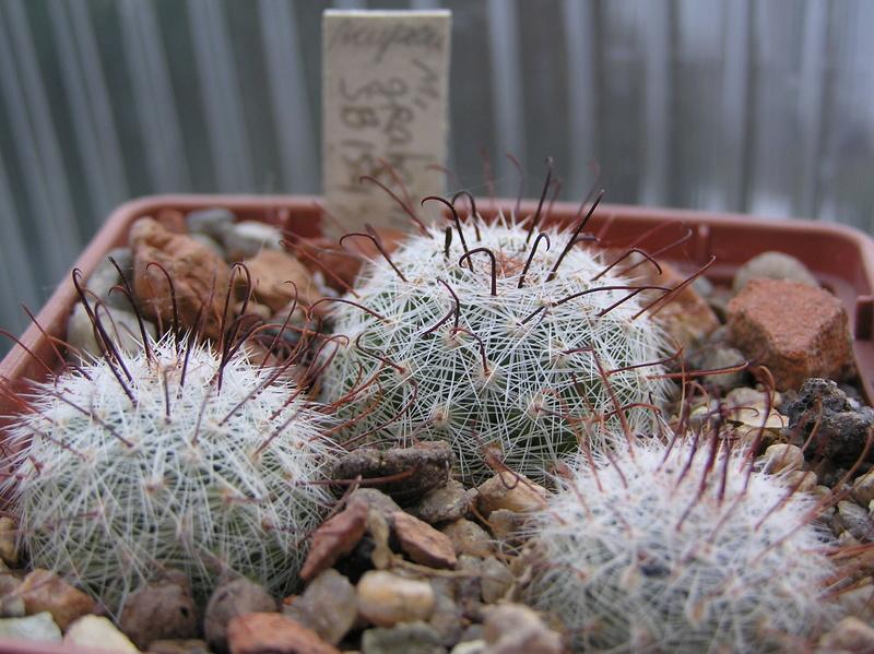 Cactus under carbonate. Seedlings. M_grah10