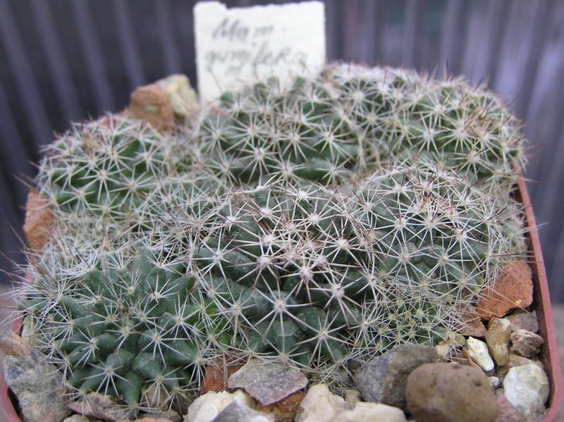 Cactus under carbonate. Seedlings. M_gumm10