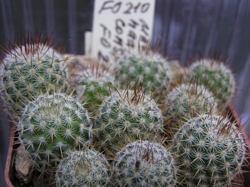 Cactus under carbonate. Seedlings. M_haag10