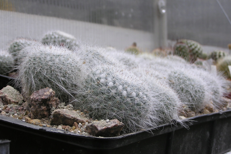 Cactus under carbonate. Seedlings. M_hahn10