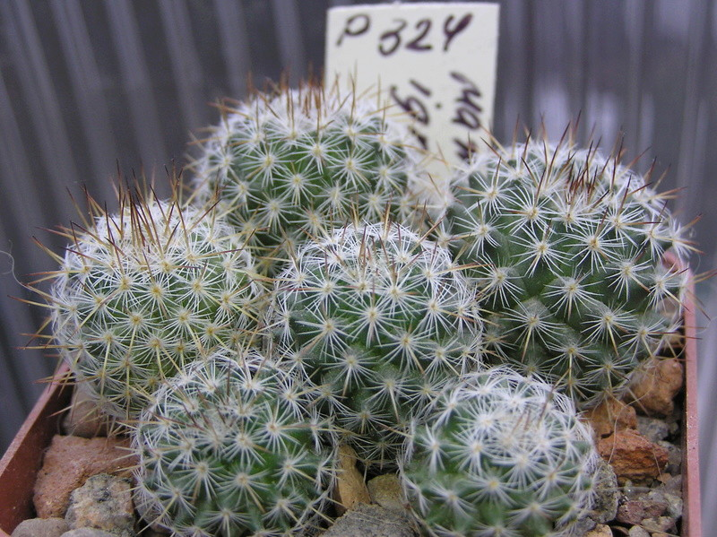 Cactus under carbonate. Seedlings. M_igno10