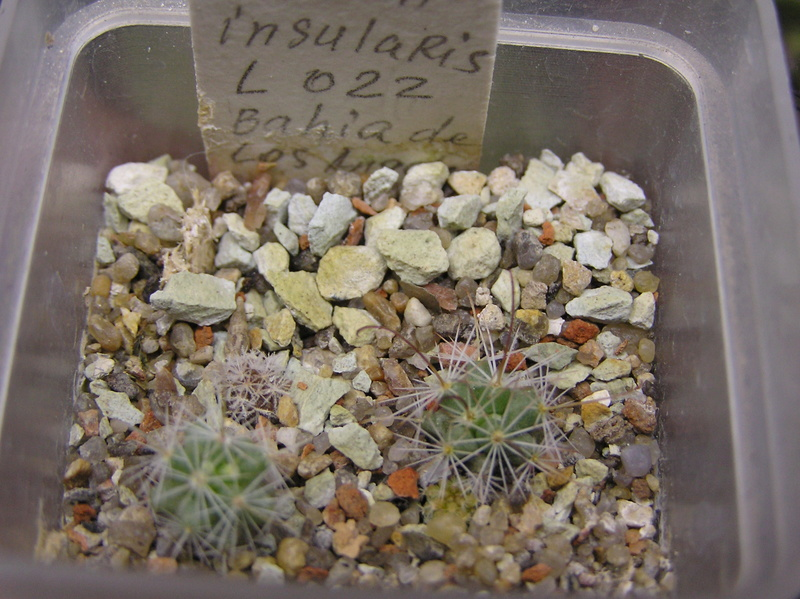 Cactus under carbonate. Seedlings. M_insu10