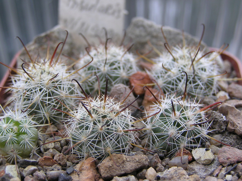 Cactus under carbonate. Seedlings. M_insu11