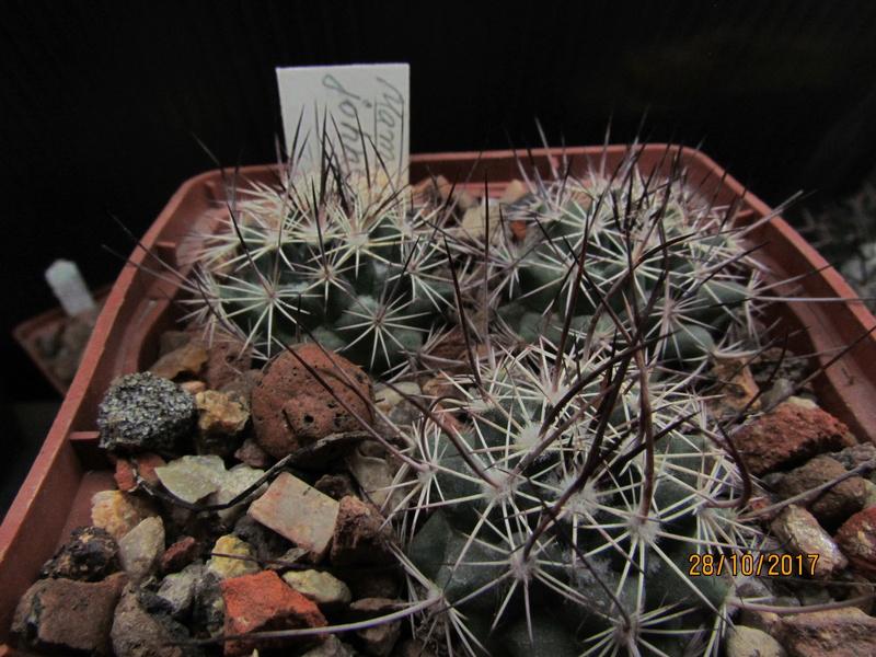 Cactus under carbonate. Seedlings. M_john12