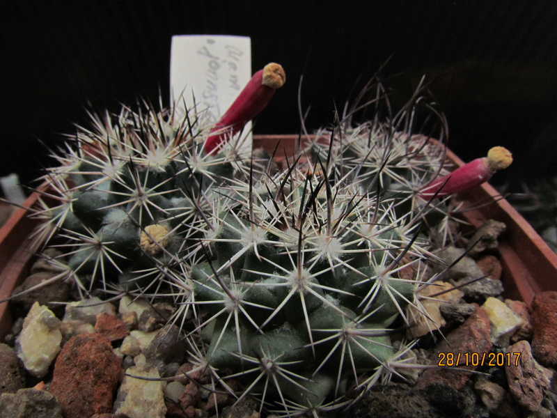 Cactus under carbonate. Seedlings. M_john13