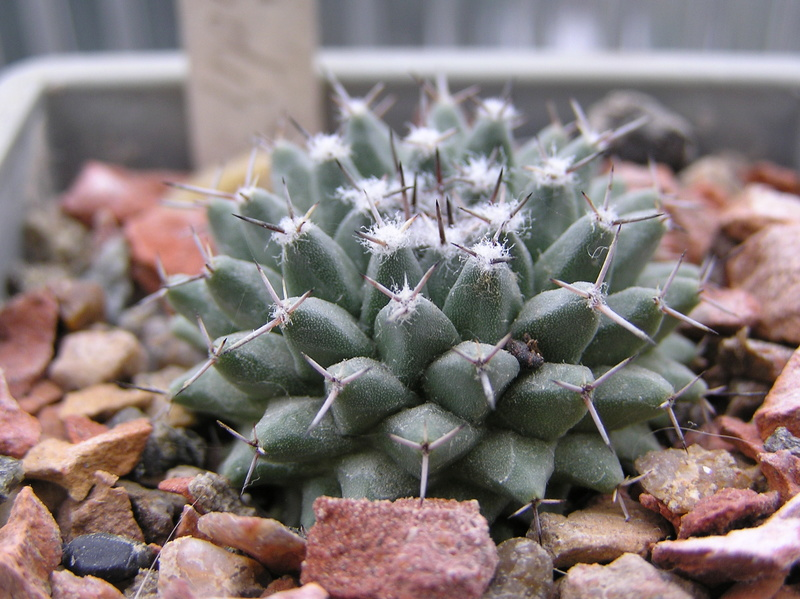 Cactus under carbonate. Seedlings. M_lloy10